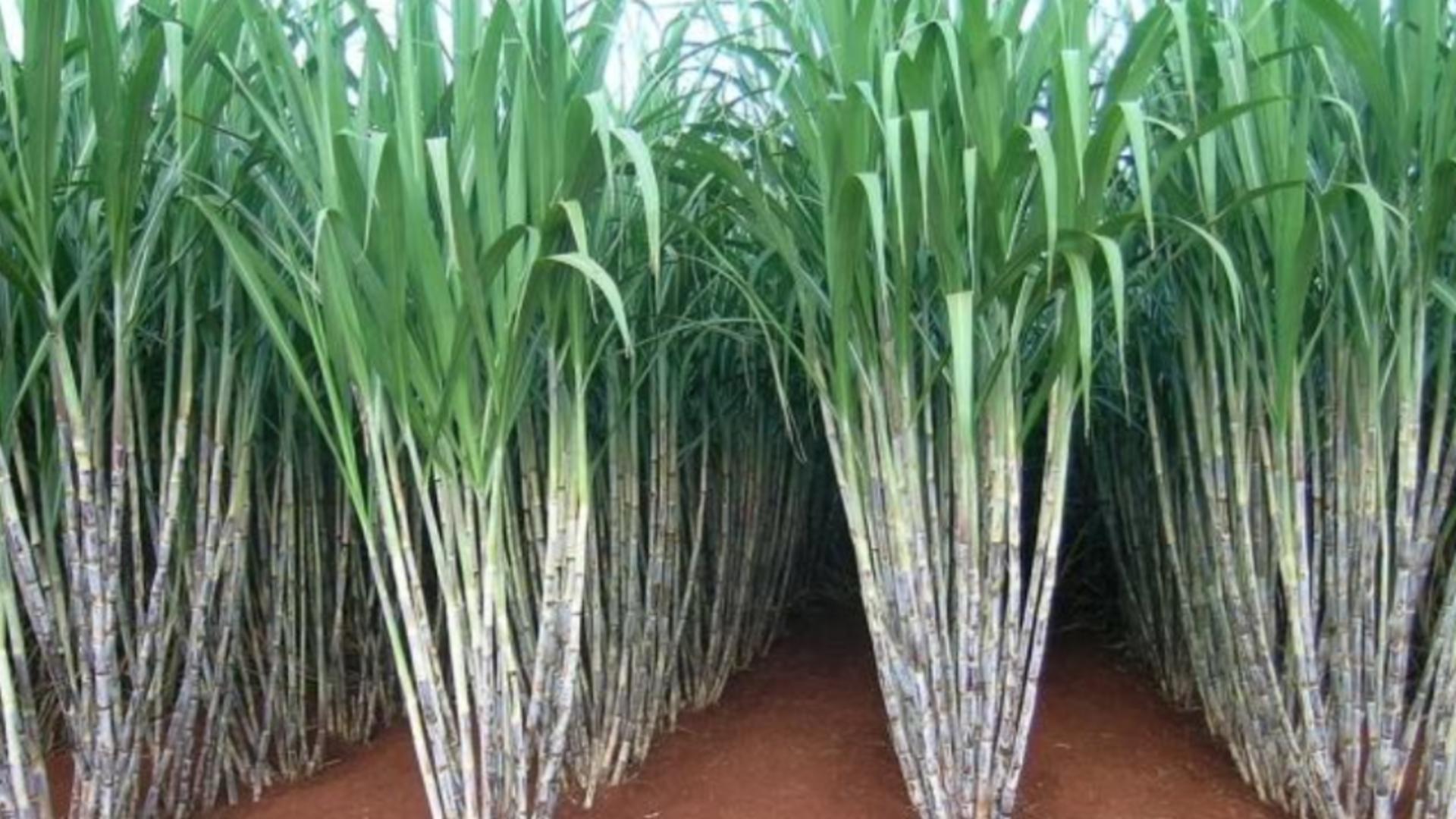 Plantație de tresei de zahăr în Brazilia