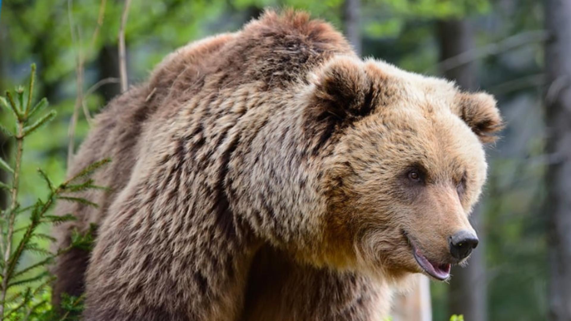 MĂRTURII cutremurătoare ale unui bărbat atacat de urs