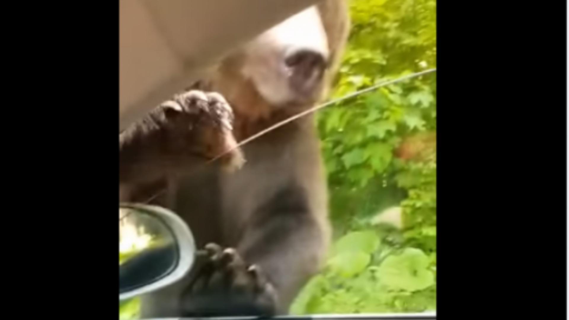 Urs filmat la Sinaia când ursul aproape că intră în mașină Foto: Captură Video Facebook