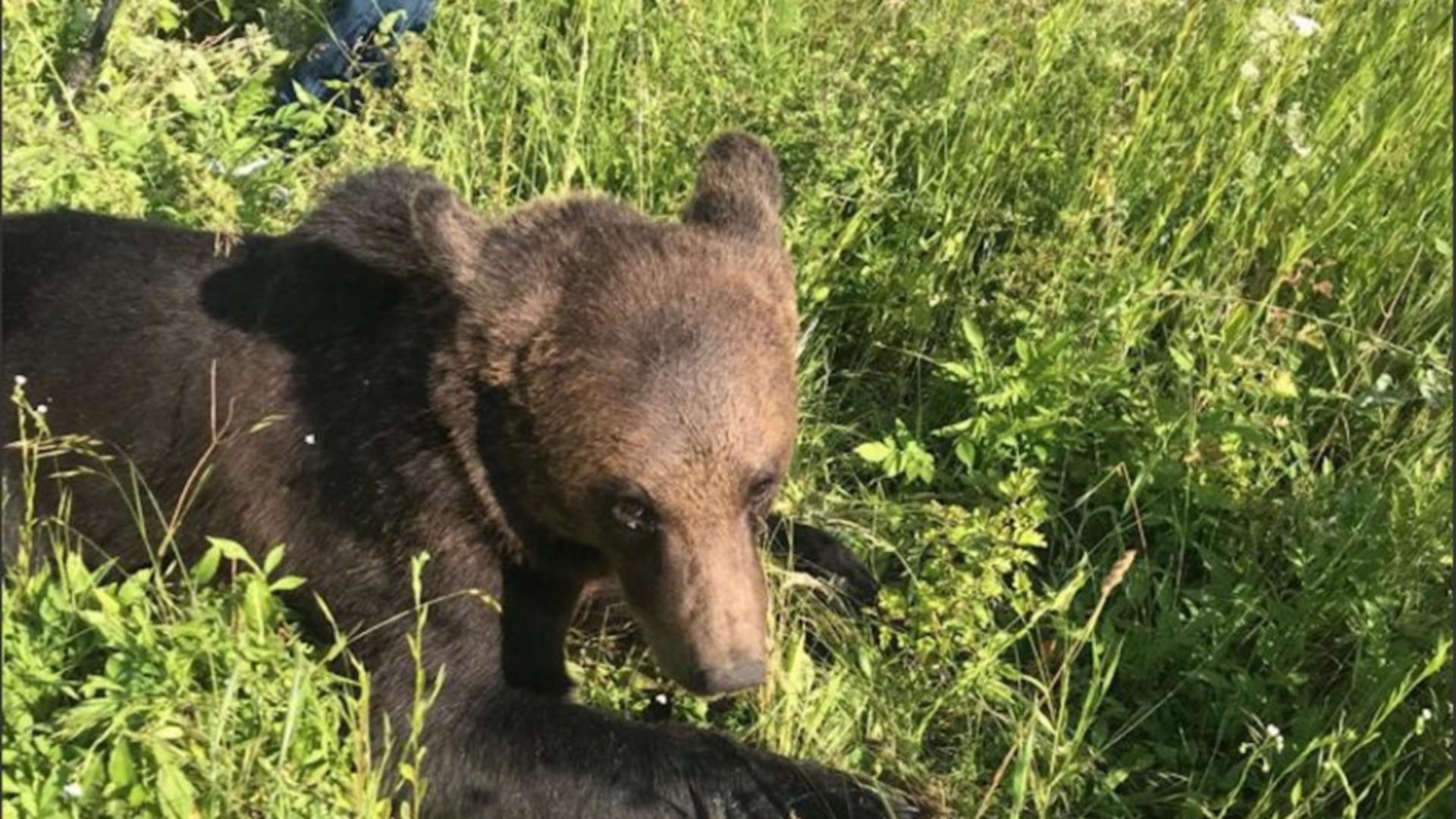 Încă un bărbat atacat de urs în propria sa grădină. Victima a ajuns la spital cu răni la cap