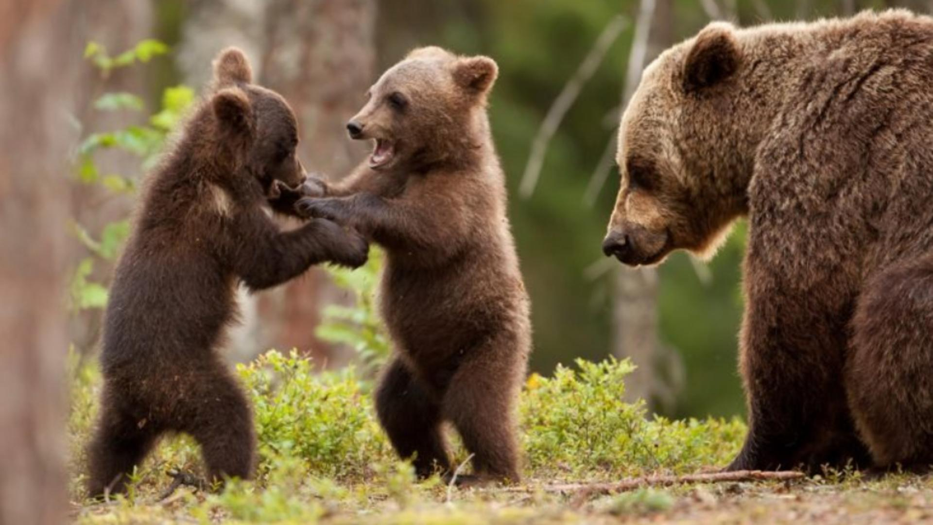 Pui de urs - imagine cu nota sugestivă