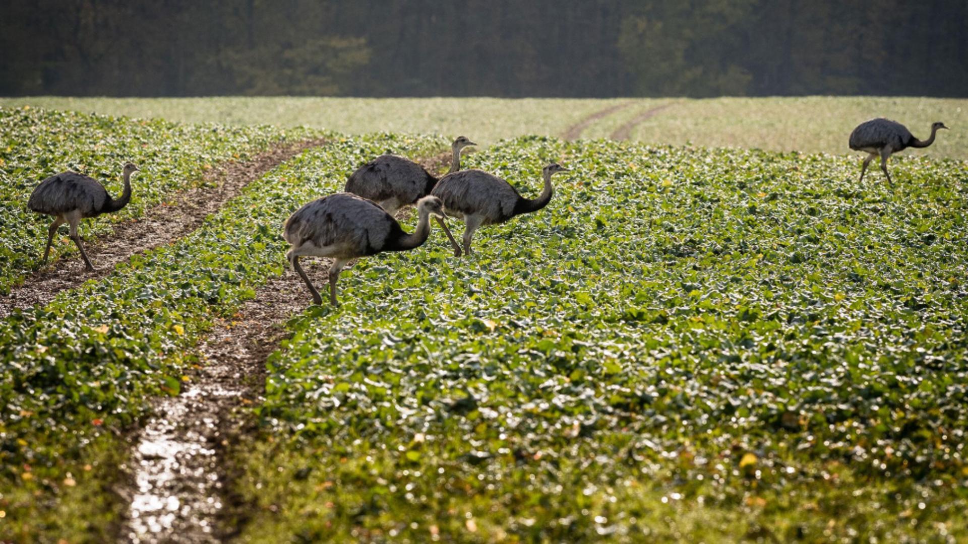 Sute de păsări exotice fac ravagii în recoltele fermierilor din nordul Germaniei / Foto: audubon.org