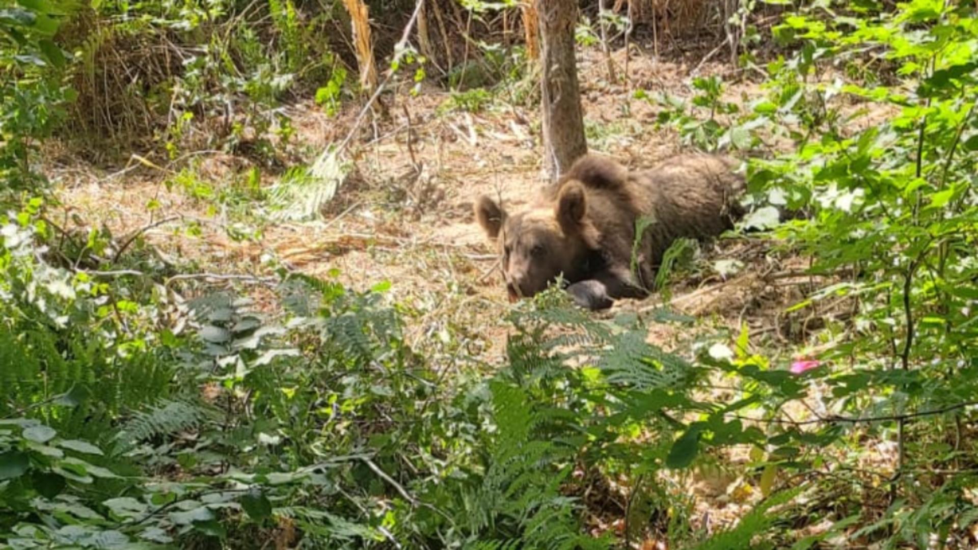 Urs legat de un copac, în pădure
