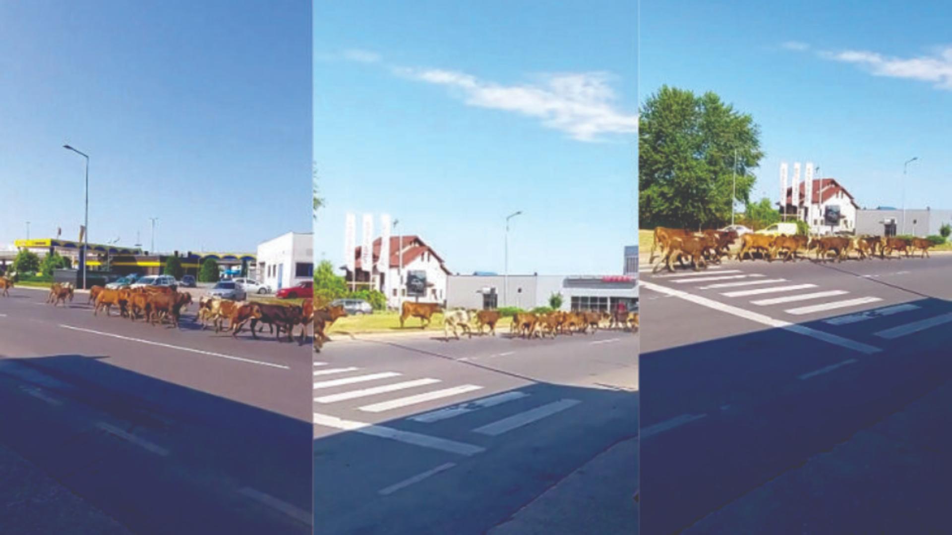Mai multe animale, la plimbare pe o șosea din Pitești. Foto: captură video