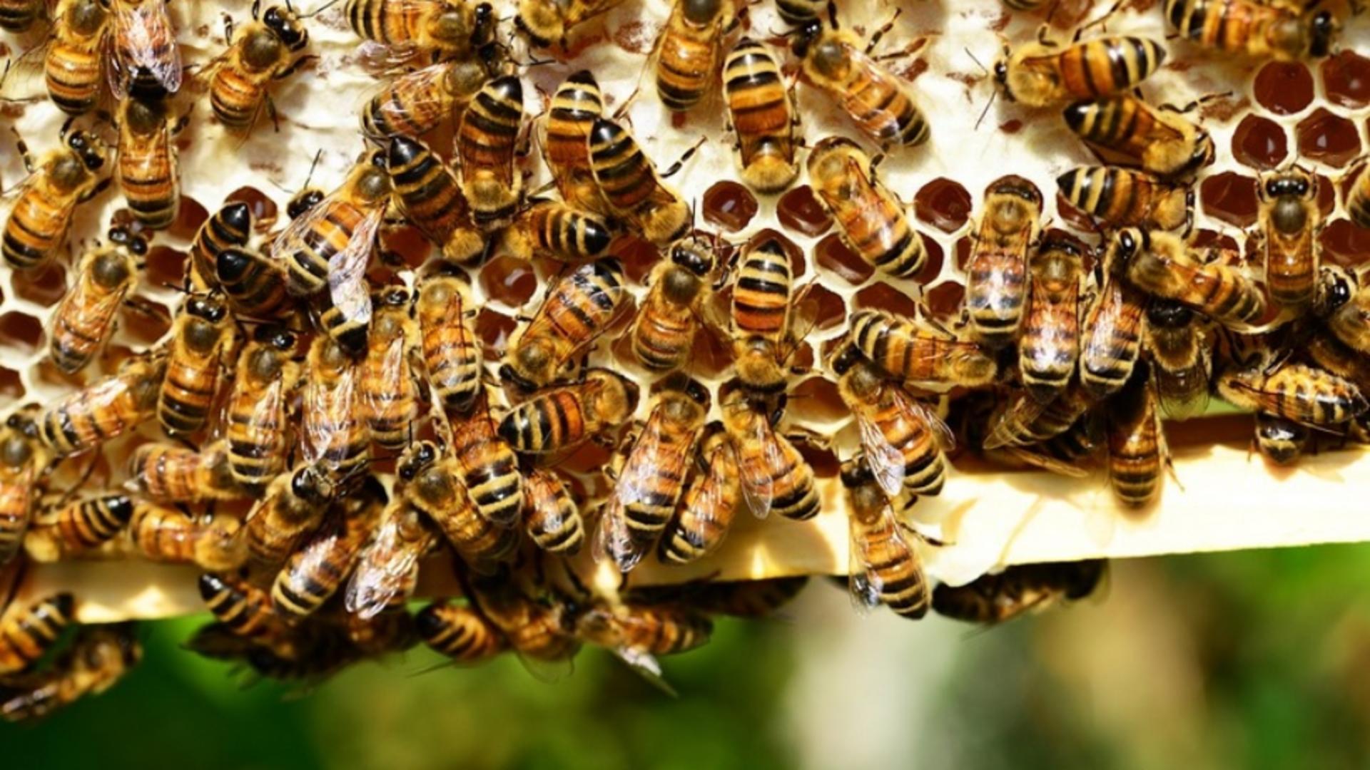 Cele mai periculoase insecte sunt albinele