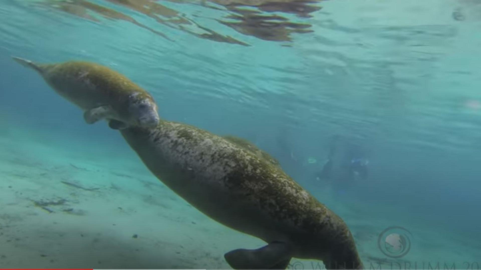Lamantinii, uriașii oceanelor, în pericol de dispariție din cauza poluării. Foto/captură video