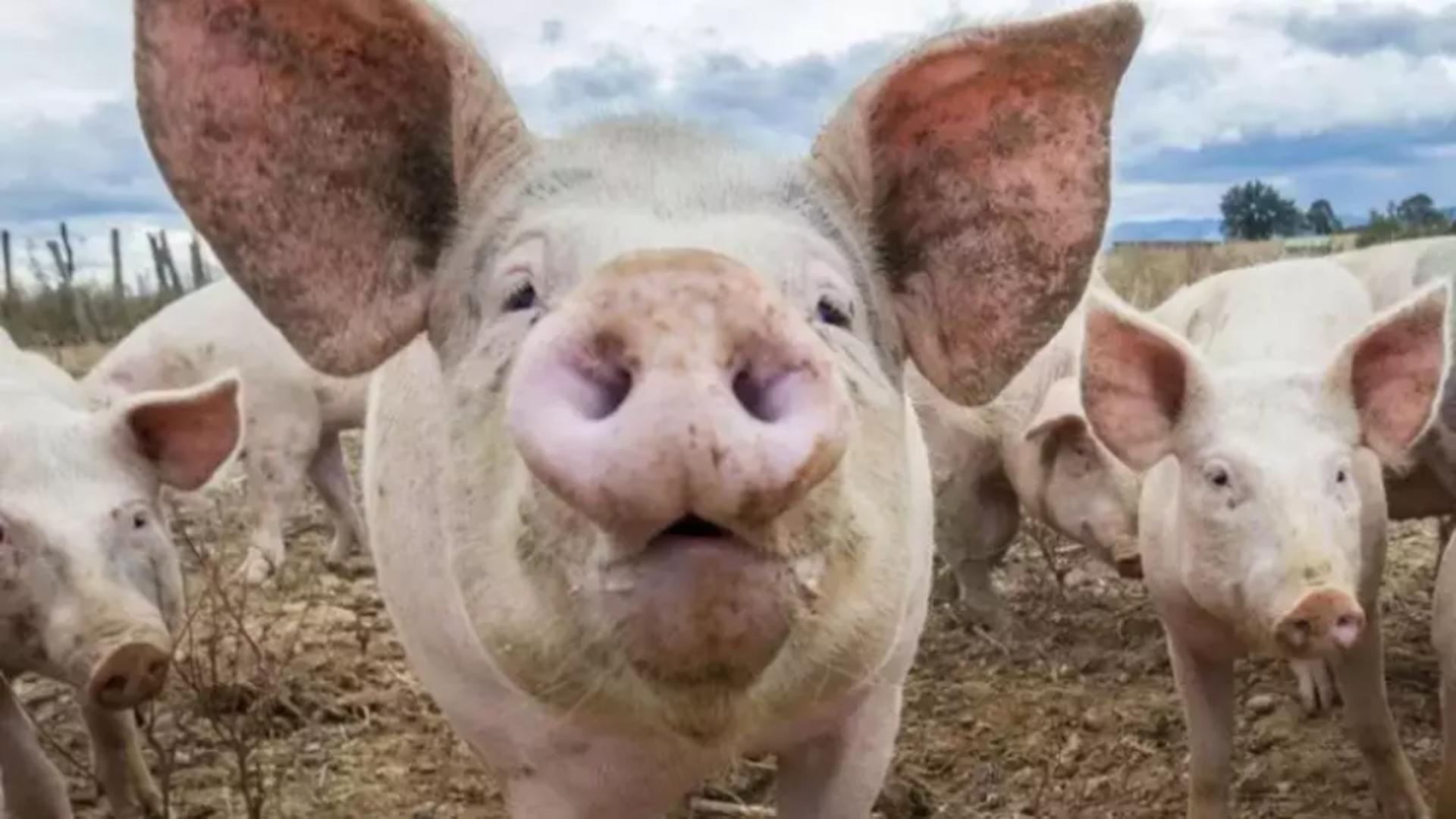 Focare de pestă porcină africană în România