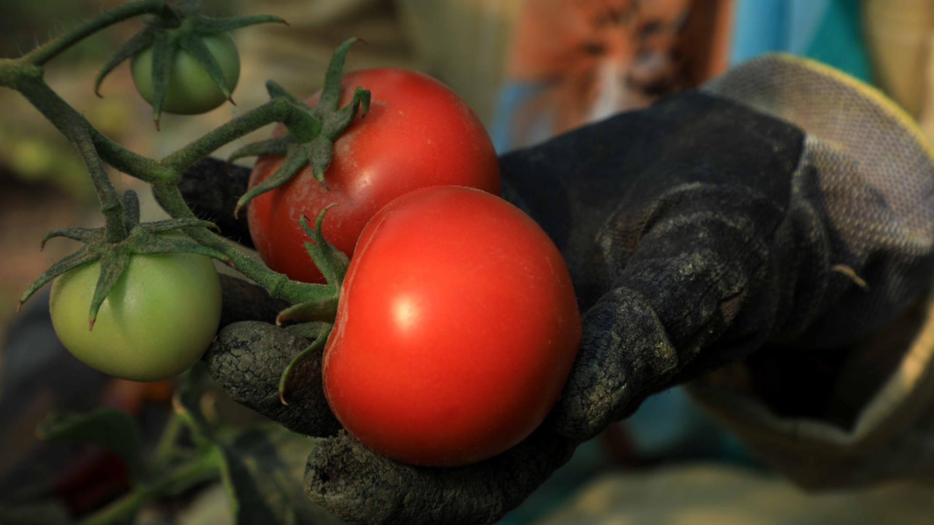 Cum alegi cele mai proaspete roșii? / Foto: Profi Media