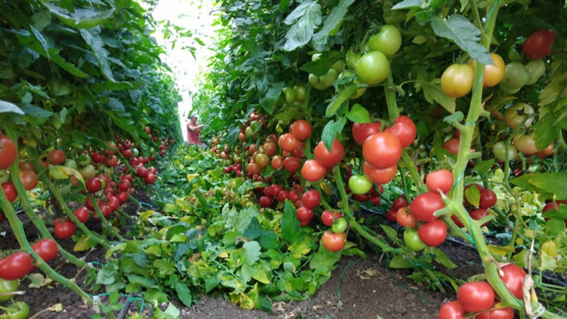 Tomatele autohtone, ÎNGROPATE de importuri - Cum este acaparată România de MAFIA legumelor