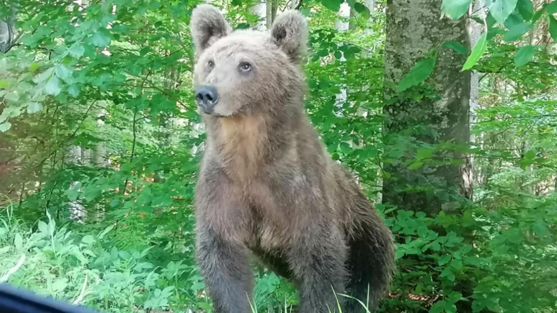 Helmut Duckadam, față în față cu ursul în apropiere de Băile Tușnad - Imagini virale