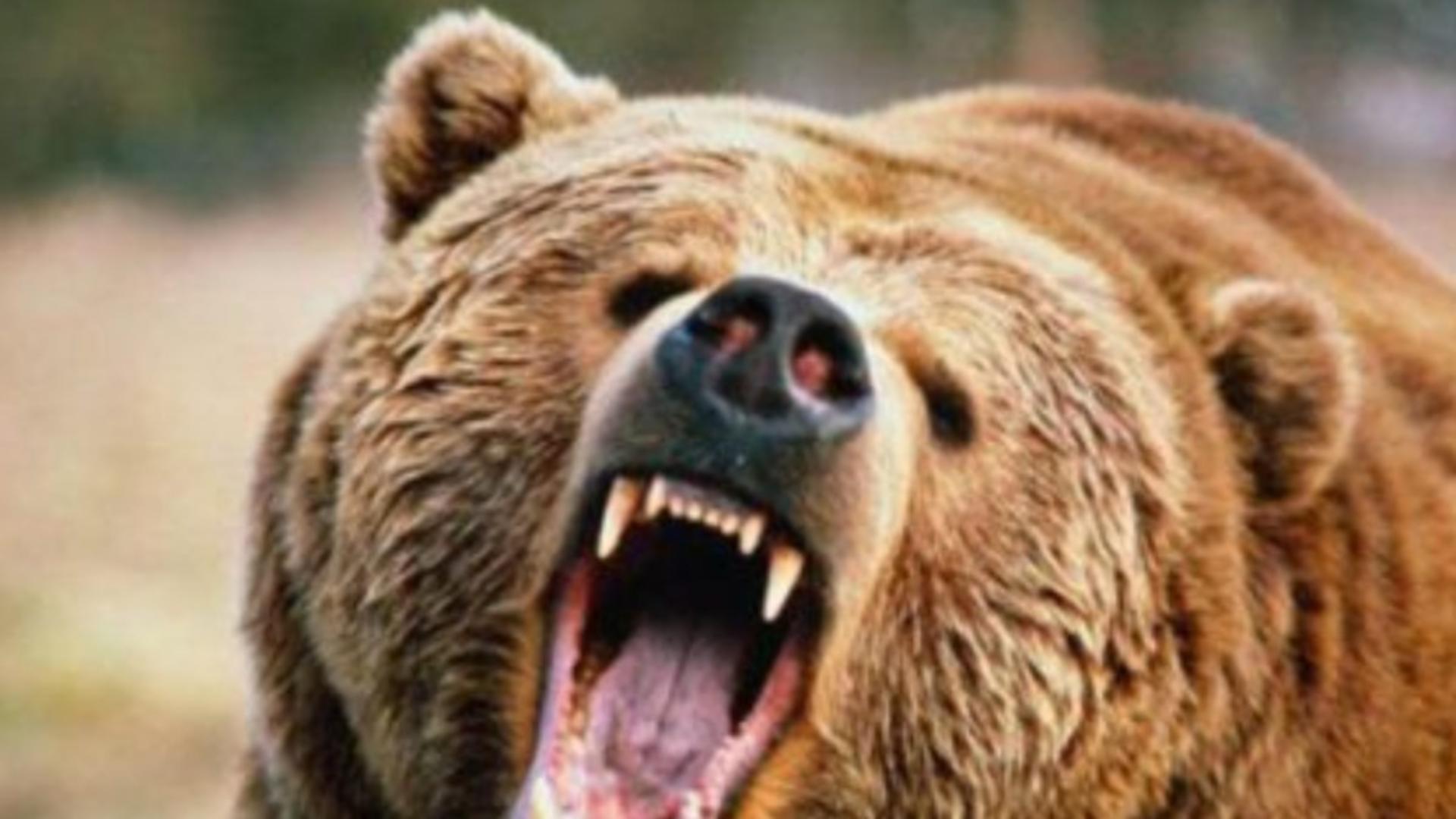 Urs furios (foto ilustrativ)