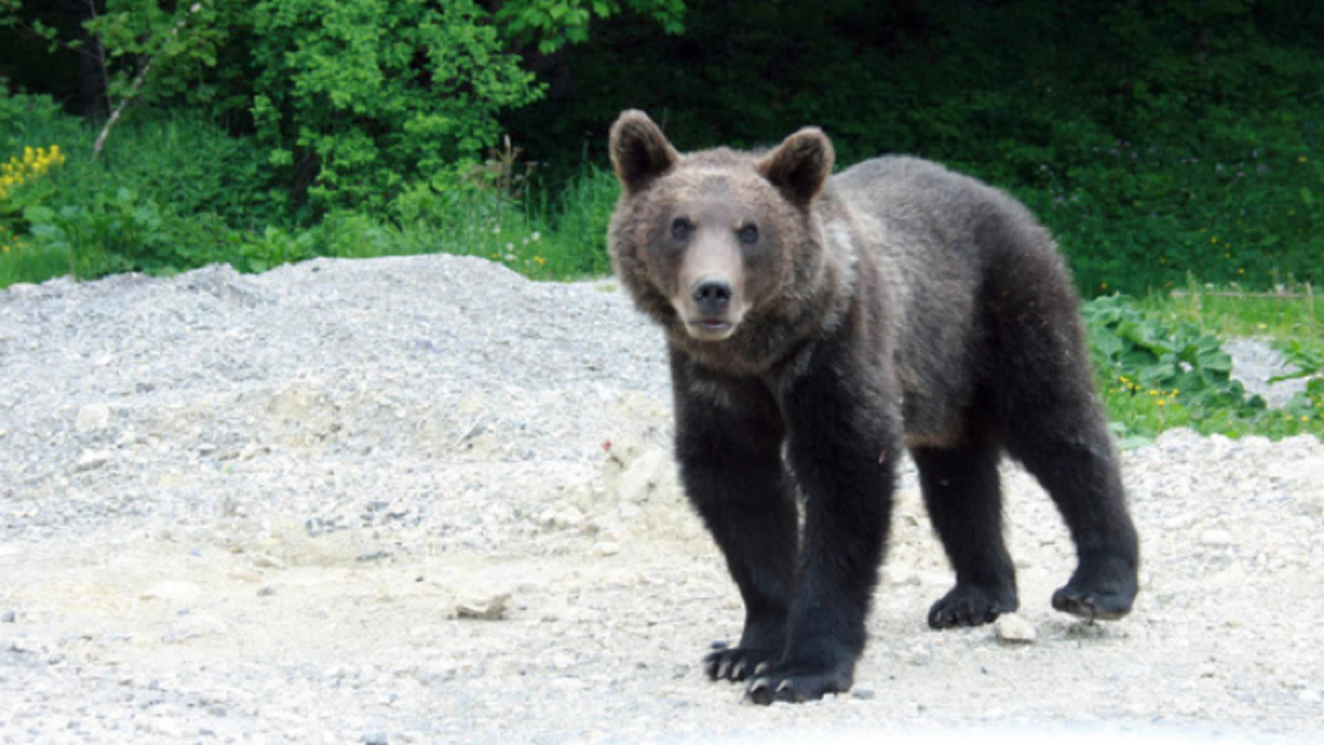 Urs care se plimbă nestingherit pe străzile din Cheia