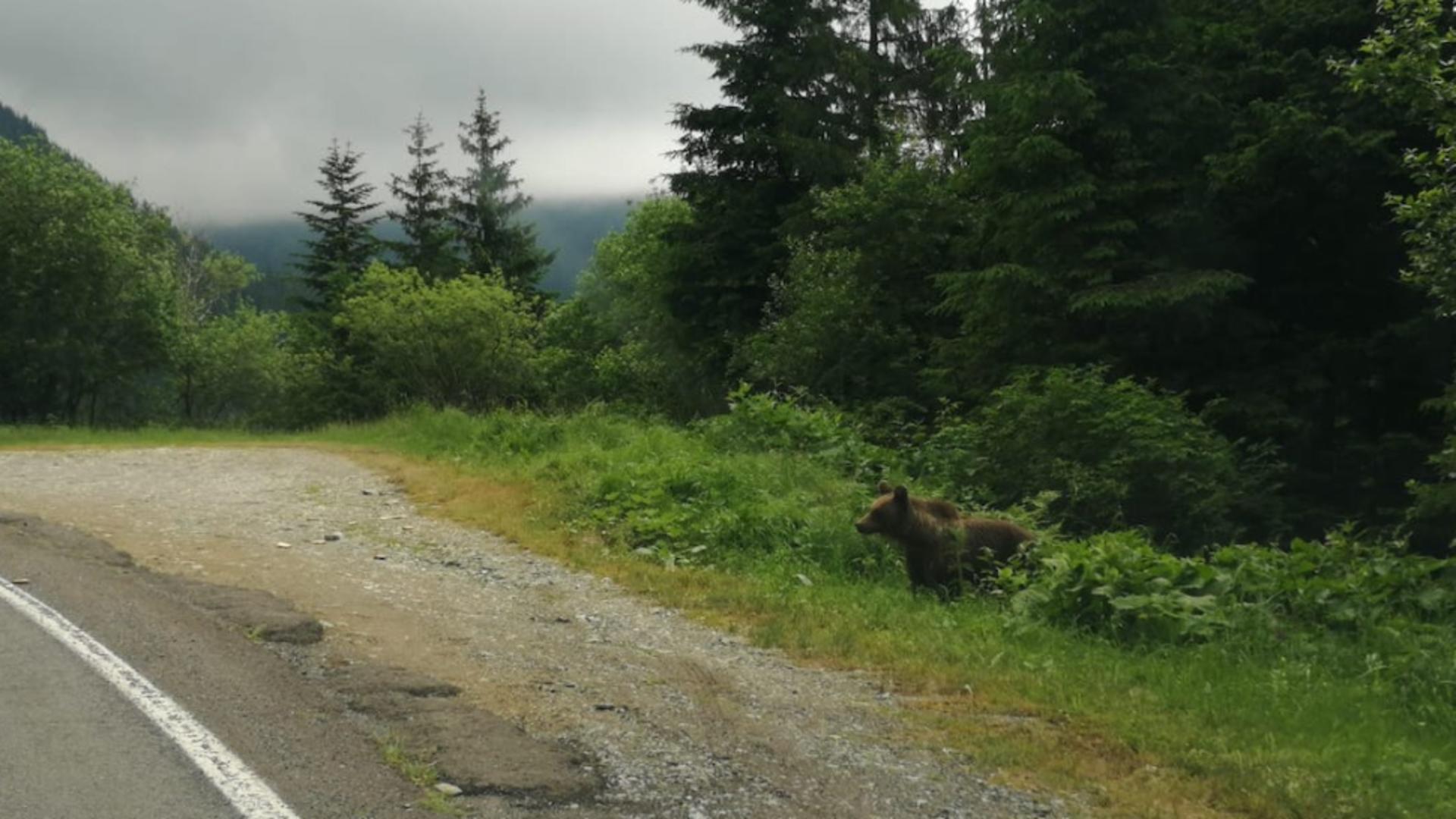 ALERTĂ de urs pe Transfăgărășan! Animalul sălbatic a fost surprins în apropierea mașinilor