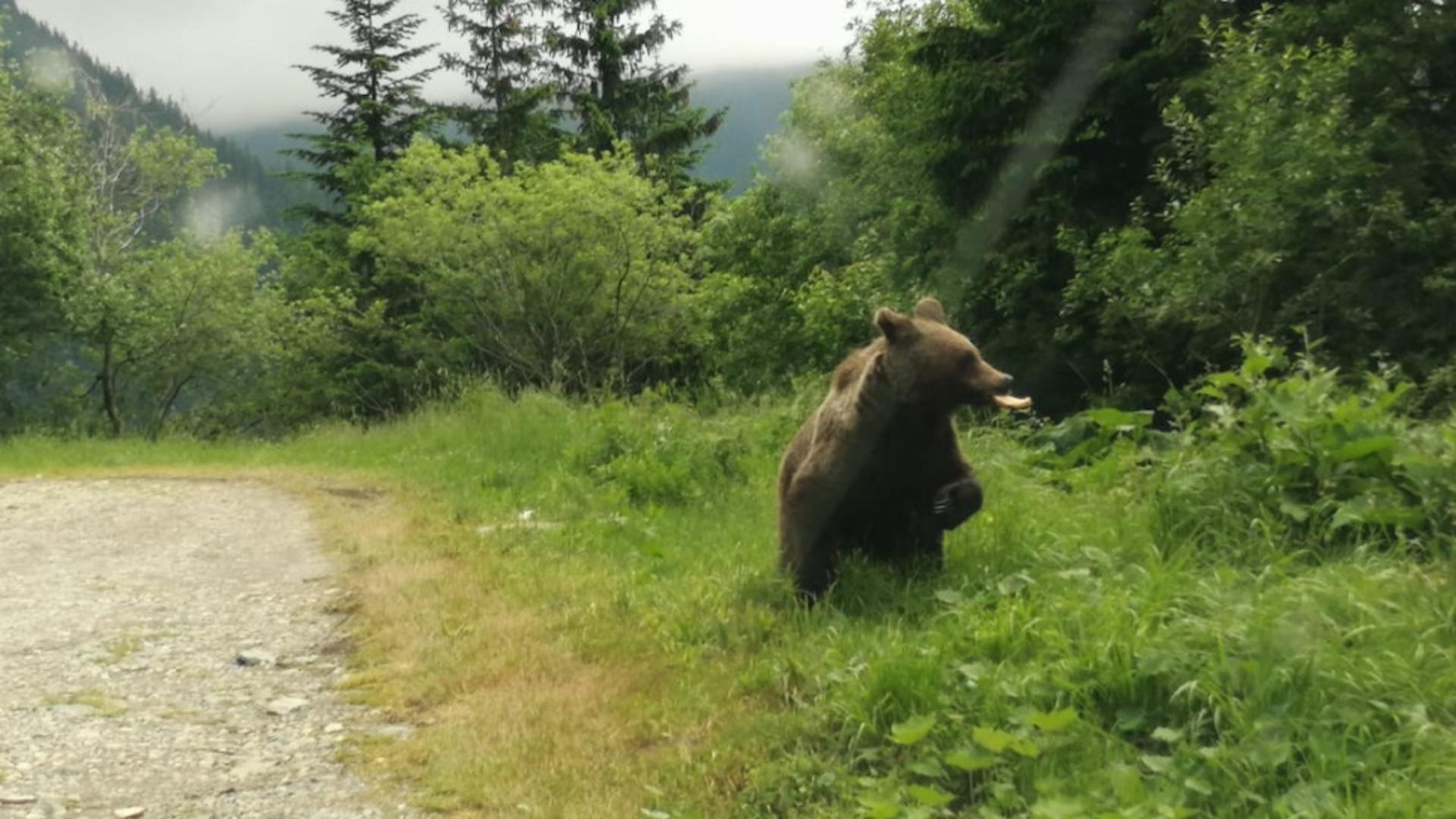 Urs - imagine cu notă sugestivă