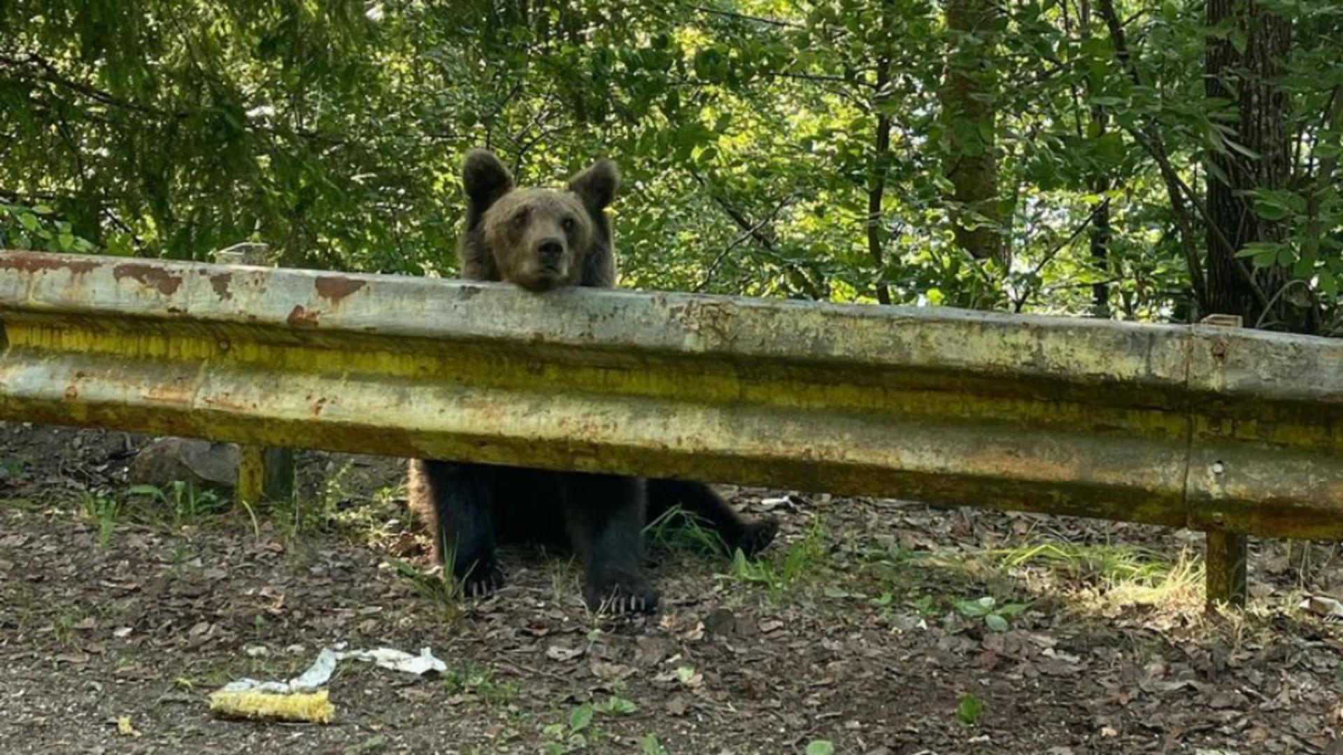 Urs hrănit de oameni în zona Barajului de la Vidraru Foto: Facebook.com