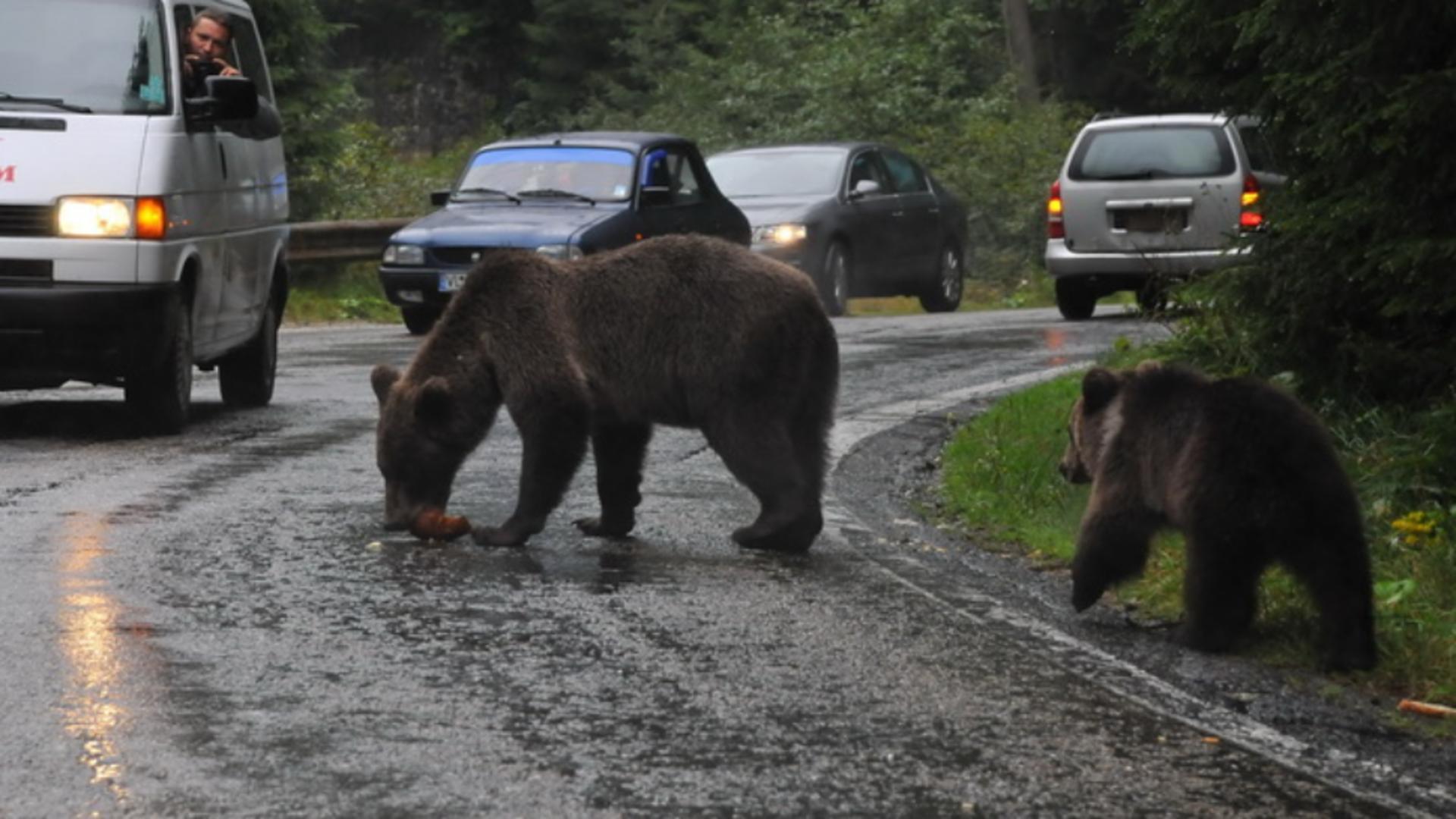Ce prevede OUG pentru ÎMPUȘCAREA urșilor, pregătită de Ministerul Mediului