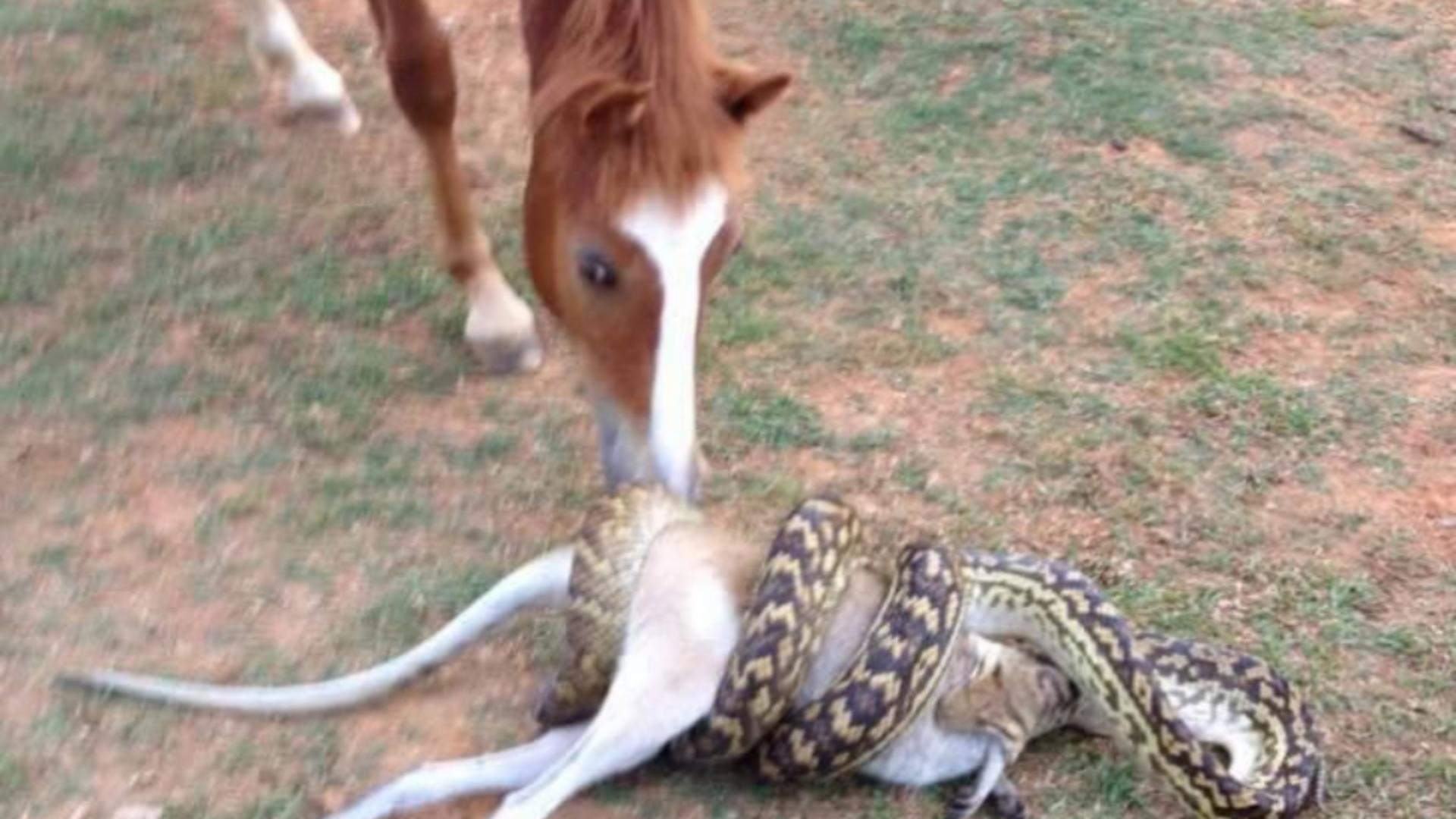 Un șarpe uriaș s-a încolăcit în jurul unui cangur pitic, care nu pare să mai aibă nicio scăpare