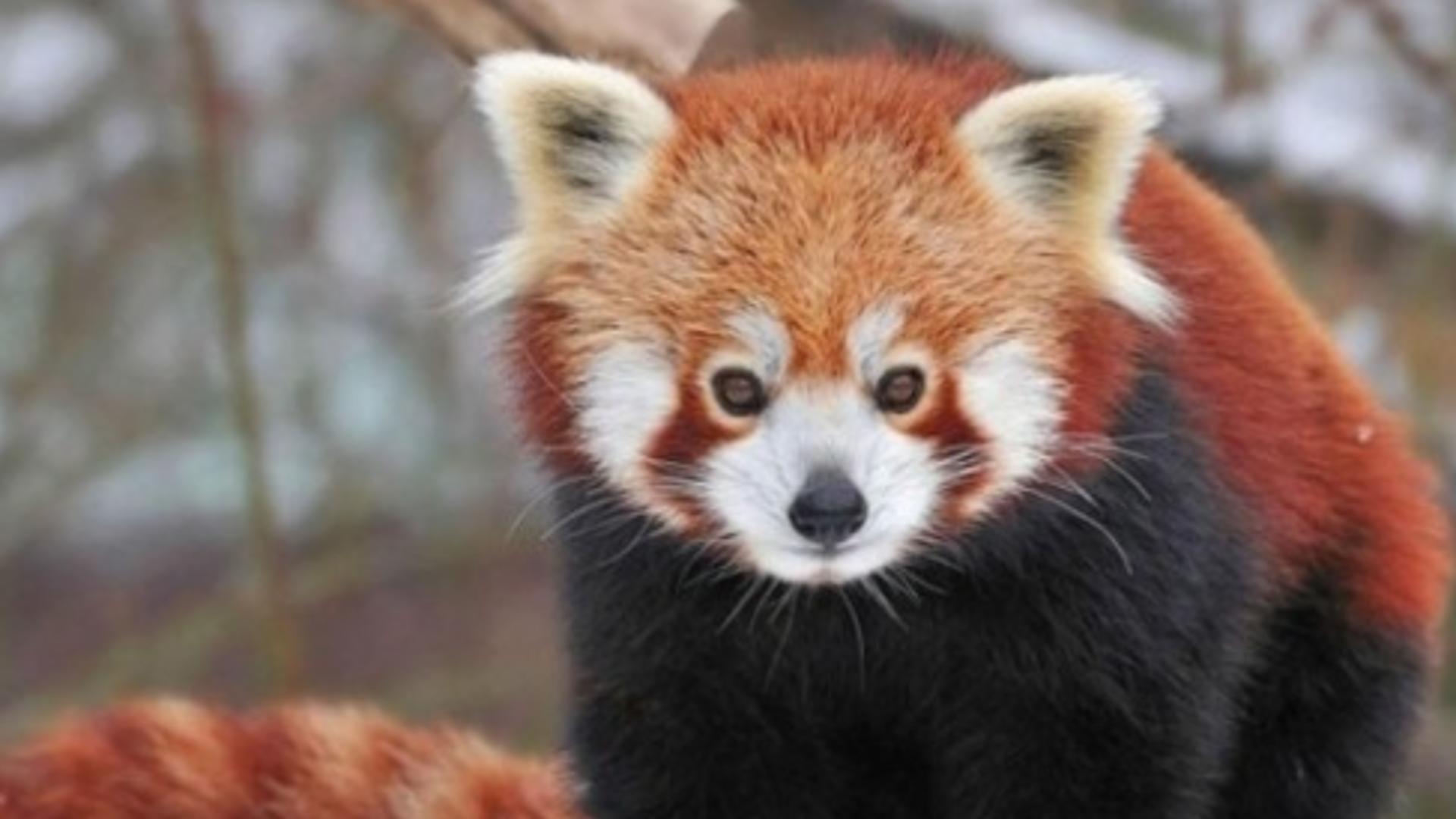 Premieră în România - Primii pui de panda roșu Foto: Grădina ZOO Brașov