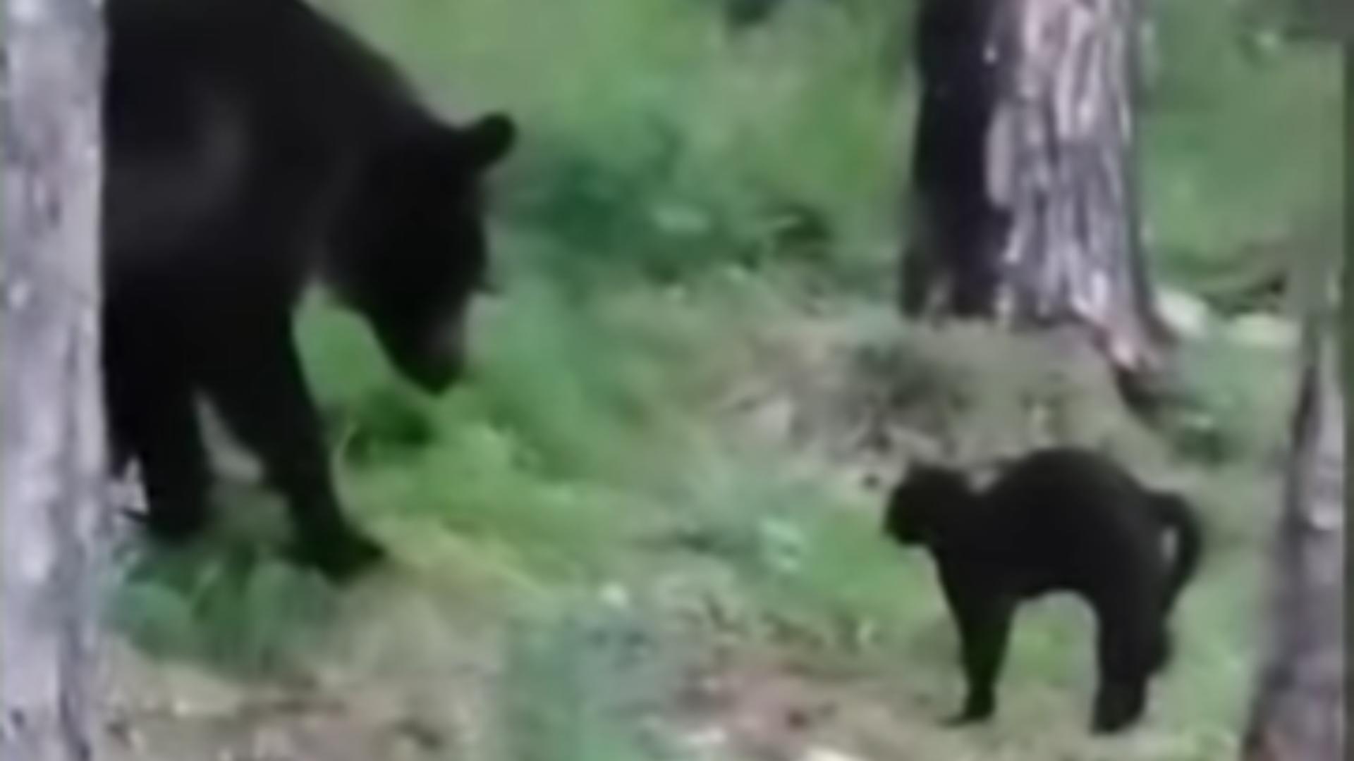 Urs alungat de o pisică. Foto: captură YouTube