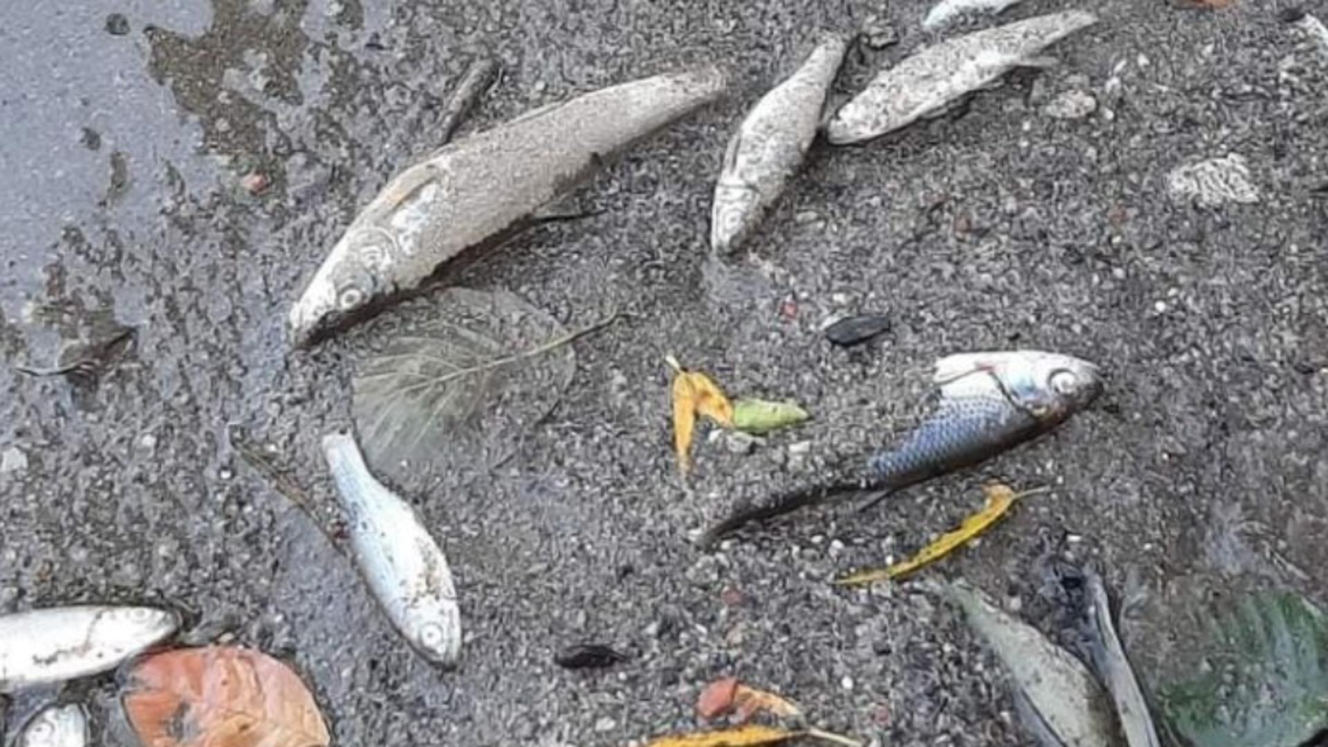 SUTE de pești morți în Jiu! Apele Române au prelevat probe pentru a afla cauza DEZASTRULUI ecologic