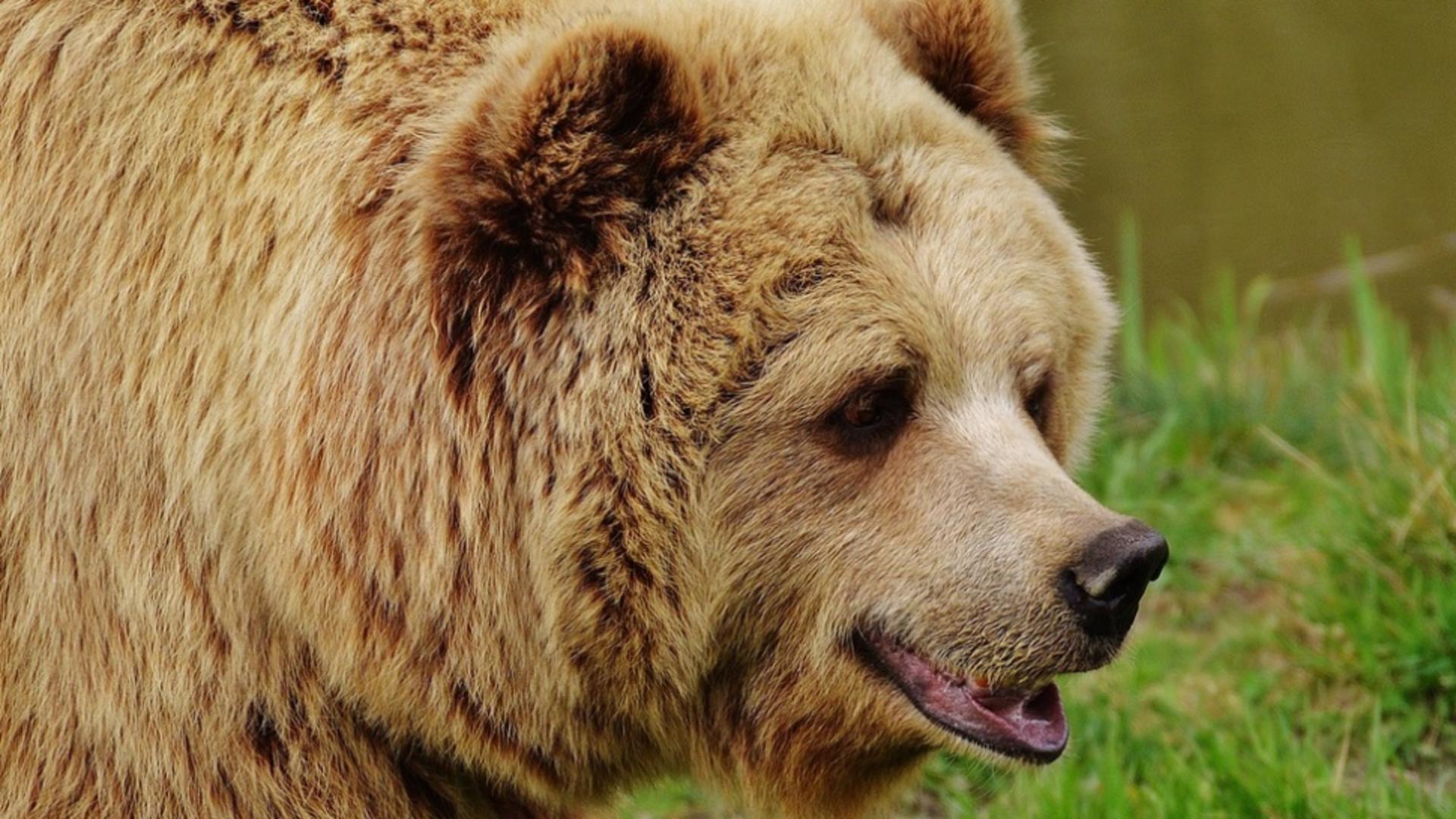 Mamă și fiică, omorâte de urs