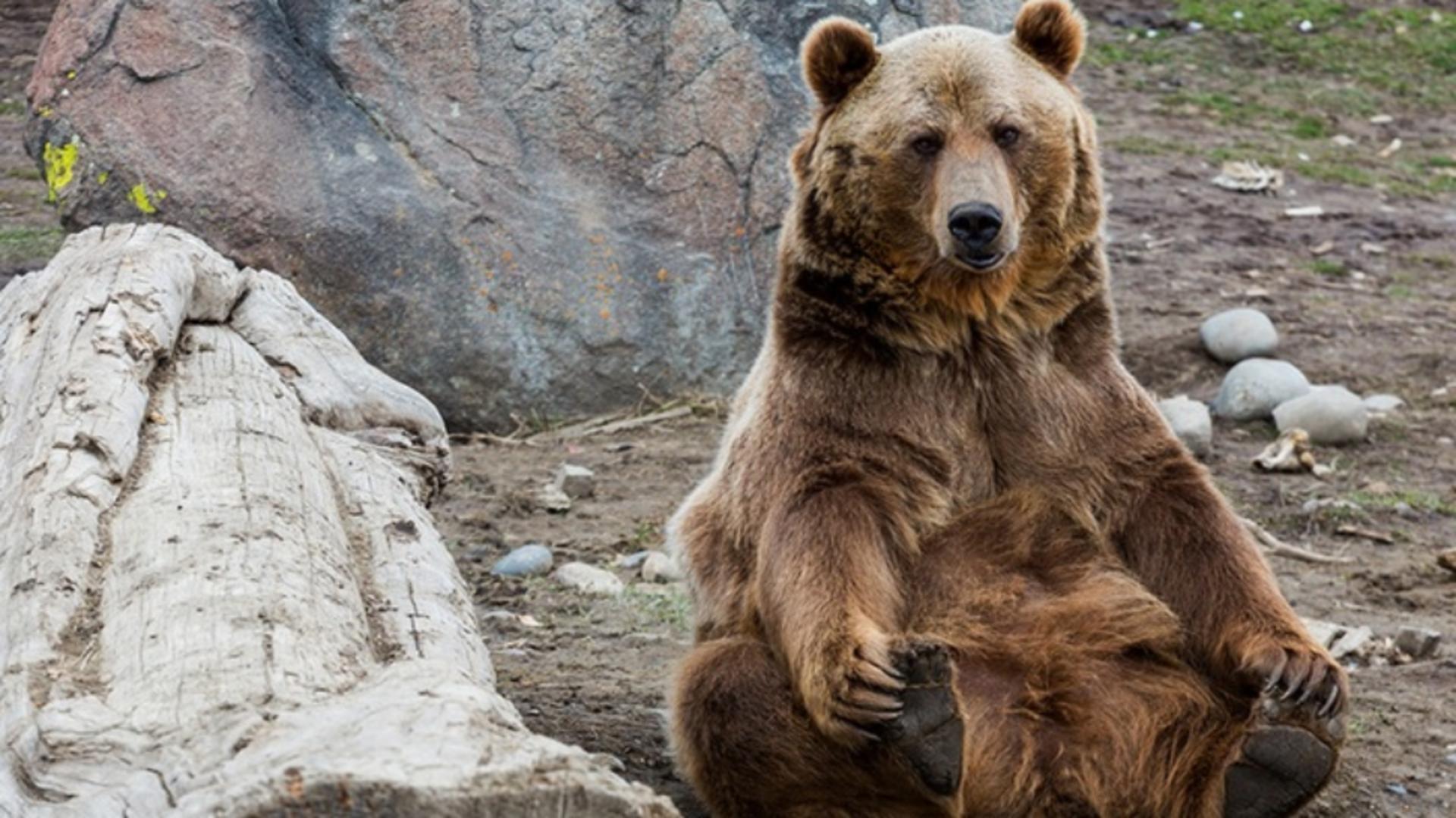 Pui de grizzly