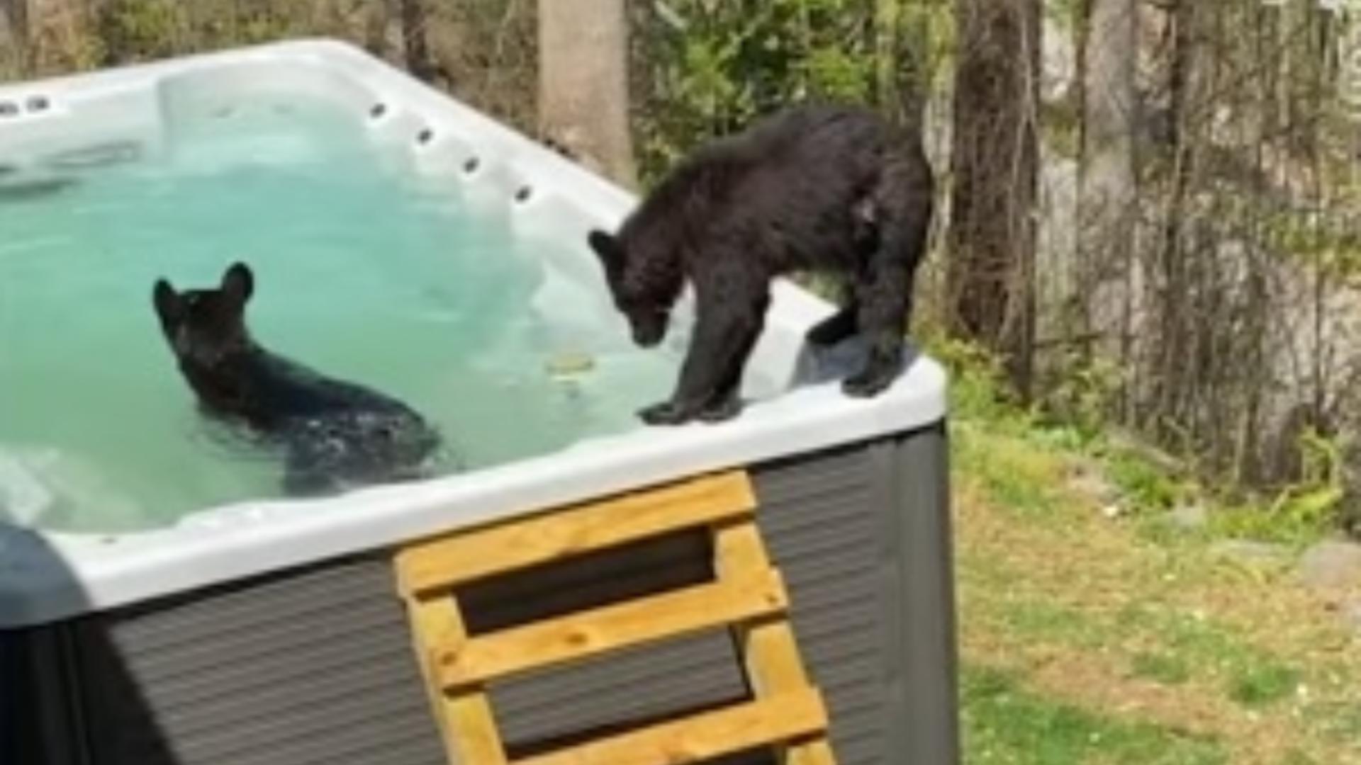O familie de 5 urși se relaxează cu o baie în... piscină, la munte, în SUA - Imagini inedite