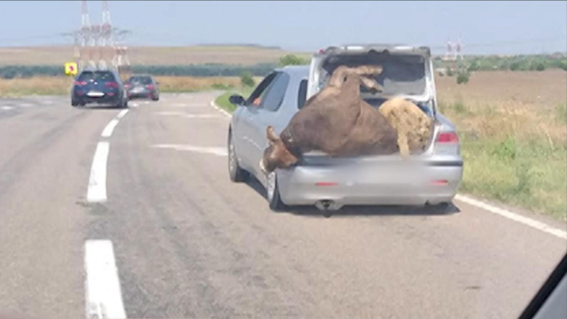 Cu vaca și măgarul în...portbagaj. Foto/observatornews