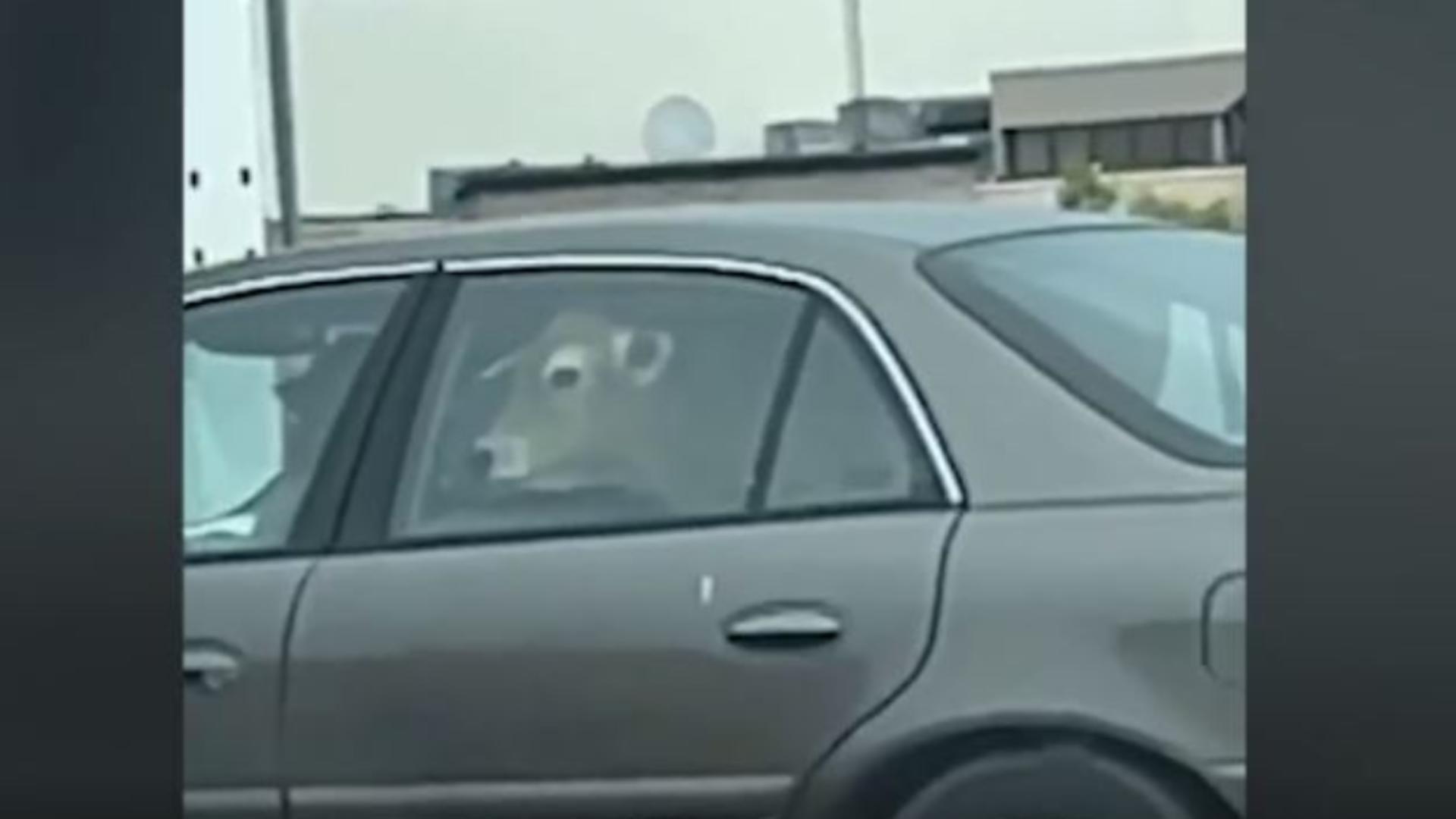 Un șofer a mers la fast-food cu o vacă pe bancheta din spate a mașinii. Captură video
