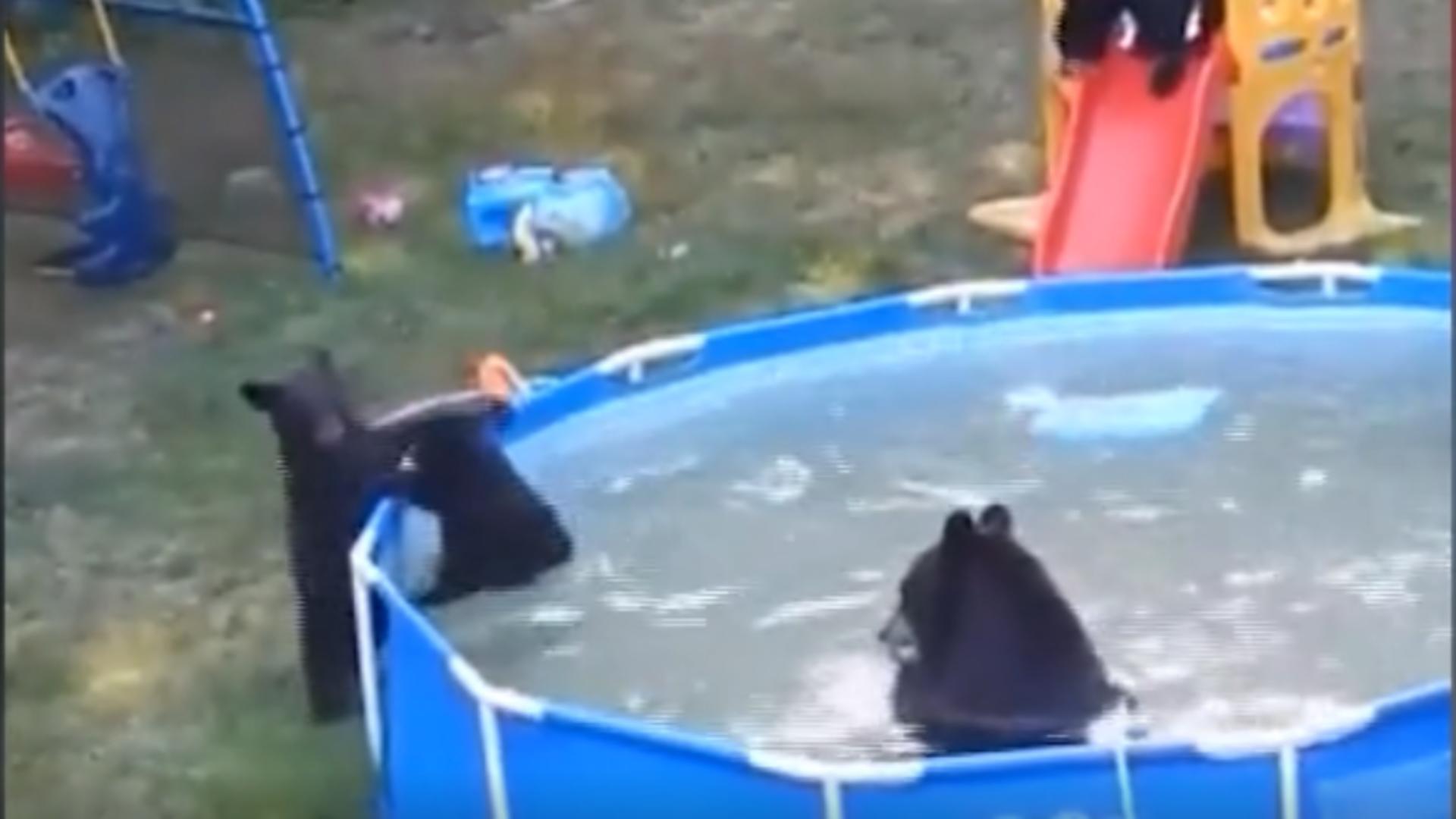 O familie de urși se distrează la piscină