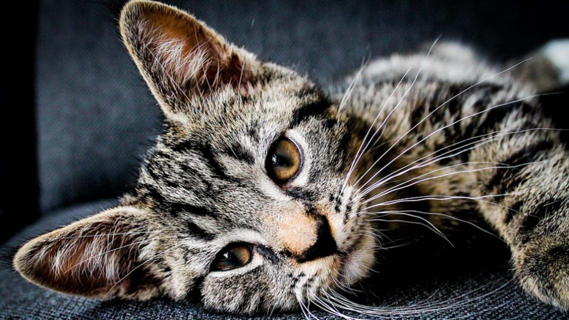 Pisicile, cele mai stresate animale în 18 luni de pandemie, din cauza stăpânilor Foto: Pixabay