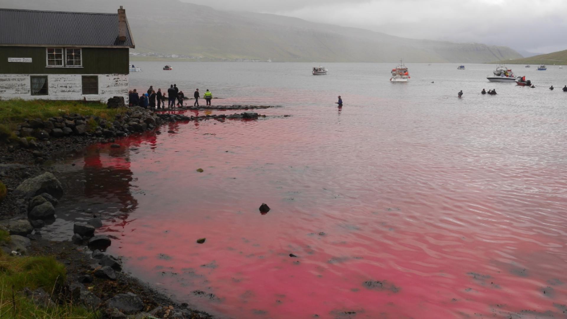 Vânătoare masivă de delfini în Insulele Feroe. Masacru total / Foto: Profimedia
