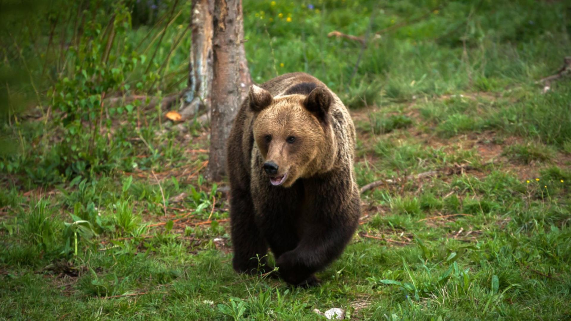 Urs împușcat în Comarnic