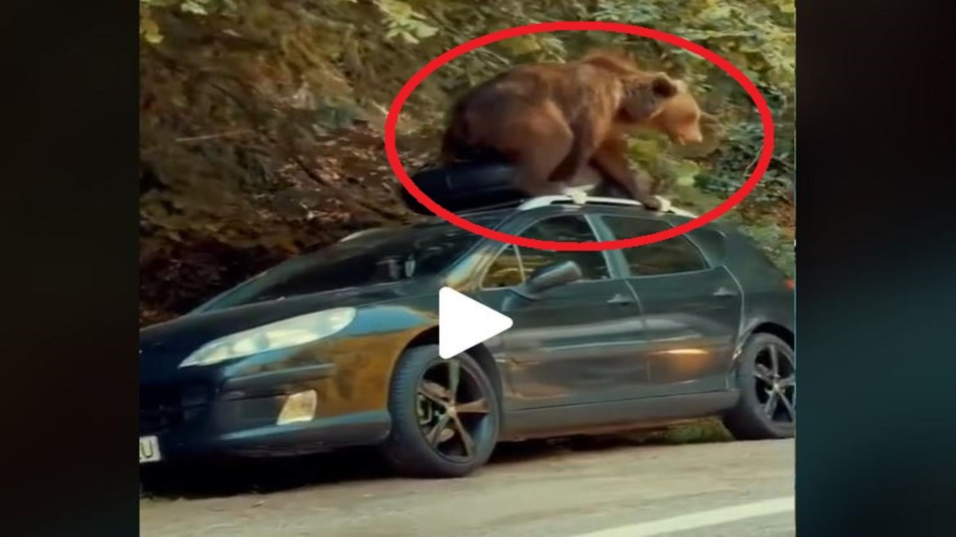 Urs suit pe o masina