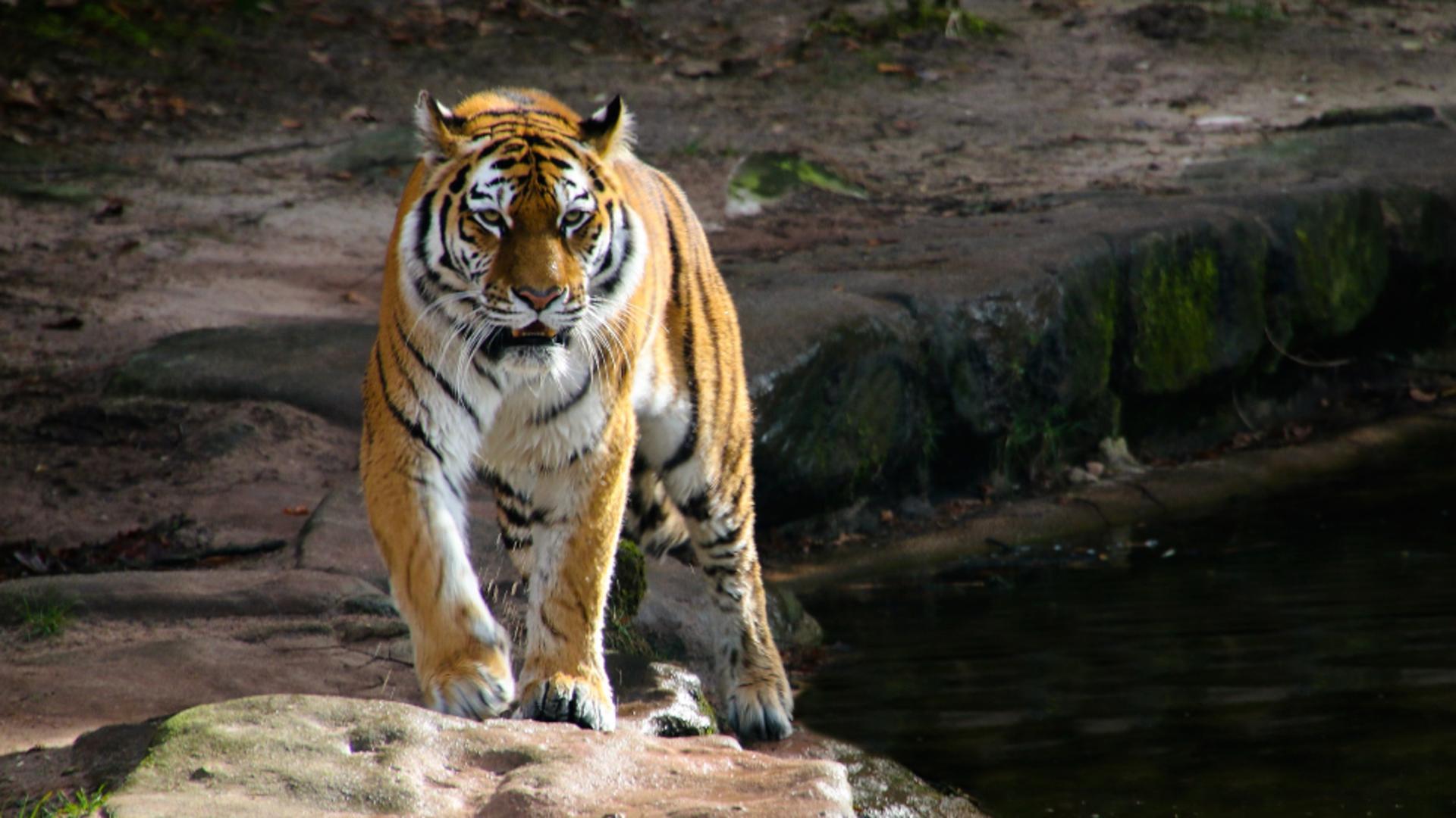 O grădină zoologică își vaccinează animalele împotriva COVID-19. În ce țară se va întâmpla