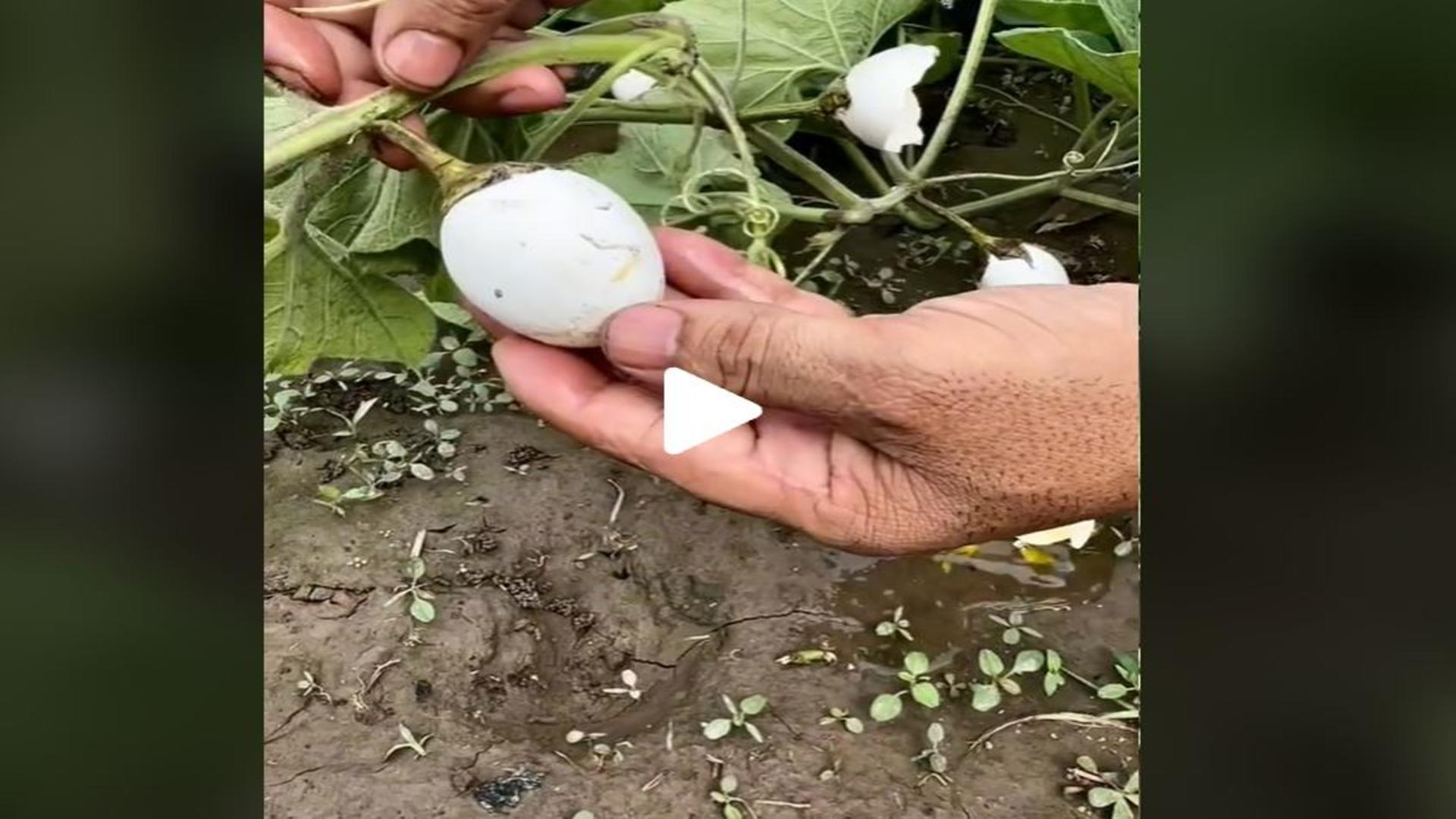 VIDEO – Oul vegetal care crește dintr-o plantă și se adună de pe câmp – Imaginile care au înnebunit internetul. Fake sau real?