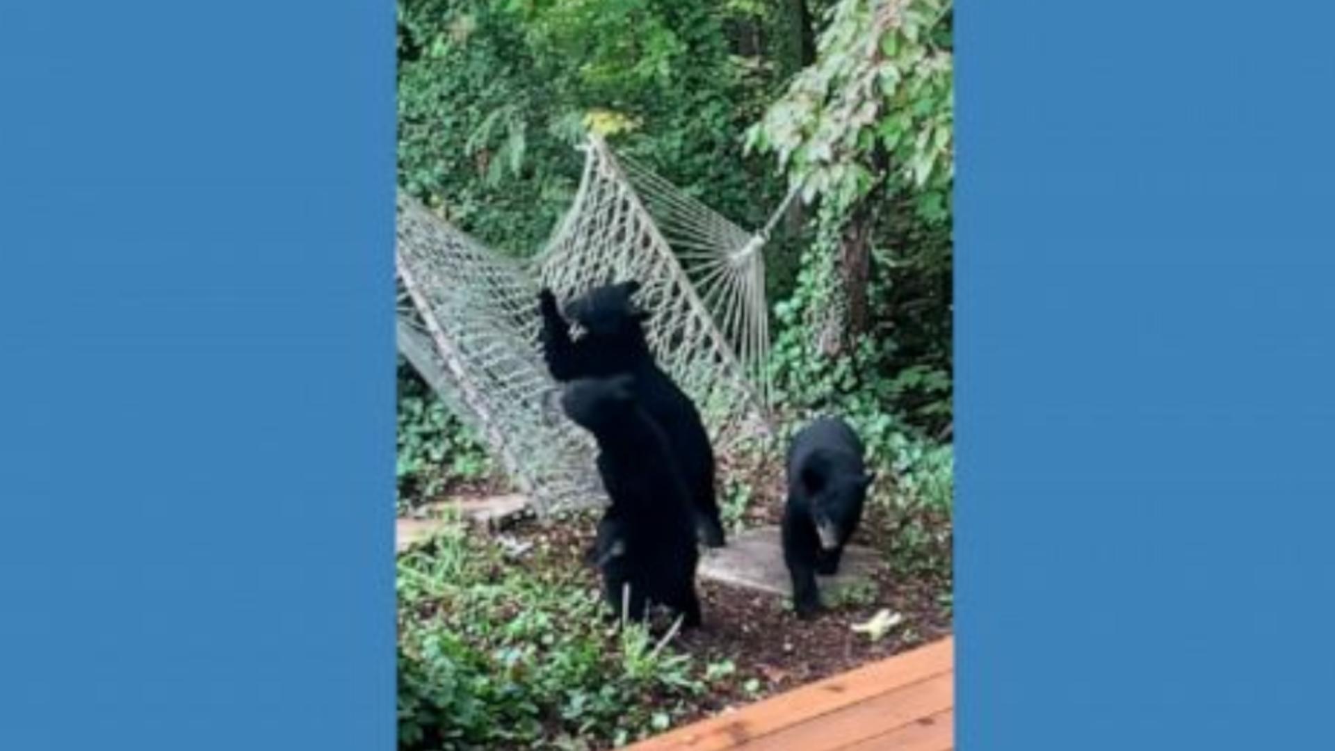 Cum s-au distrat trei ursuleți jucăuși într-un hamac - IMAGINI virale
